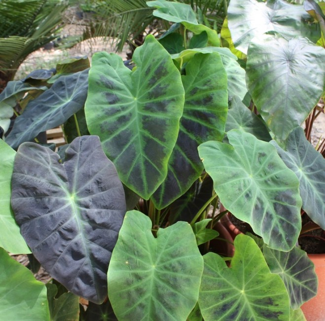Colocasia 'Black Beauty'