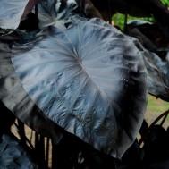Colocasia 'Black Coral'