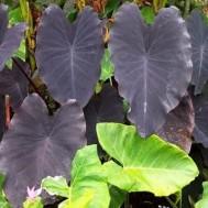 Colocasia 'Black Ruffles'