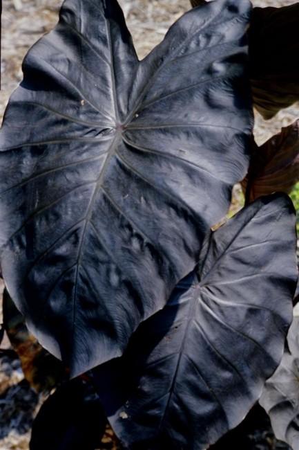 Colocasia 'Diamond Head'