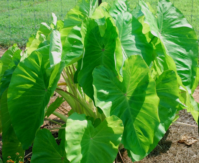 Colocasia 'Maui Gold'