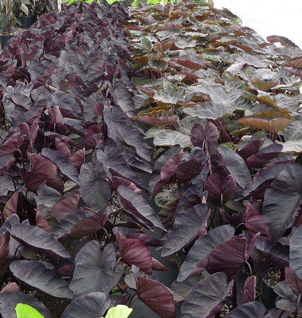 Colocasia Puckered up 3g