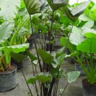 Colocasia 'Tea Cups'