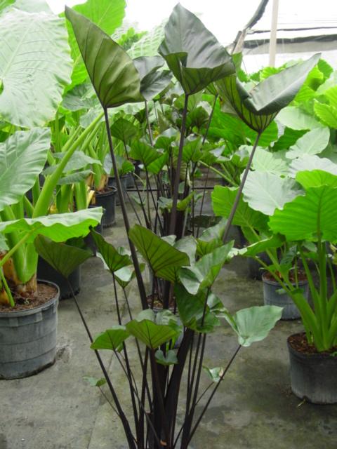 Colocasia Teacups7G.jpg