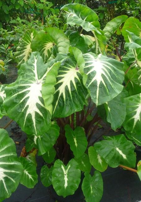 Colocasia 'White Lava' (3)