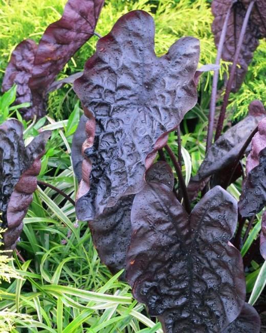 Colocasia'Puckered up'
