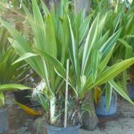 Crinum asiaticum 'Variegatum'