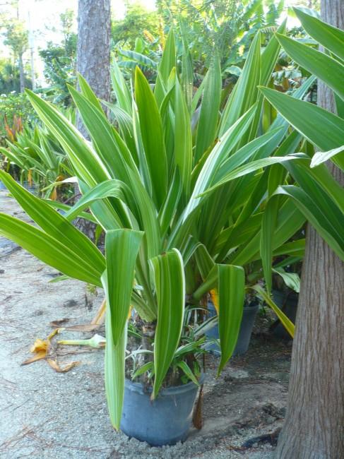 Crinum asiaticum 'Variegatum' (3)