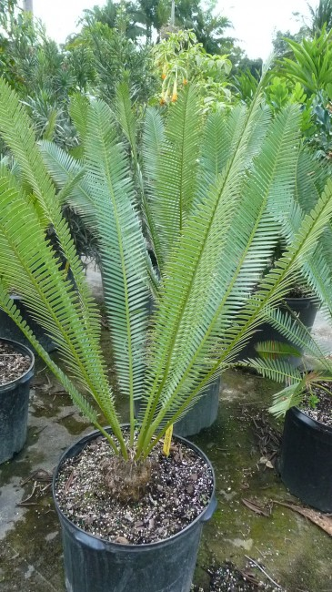 Dioon edule (1)