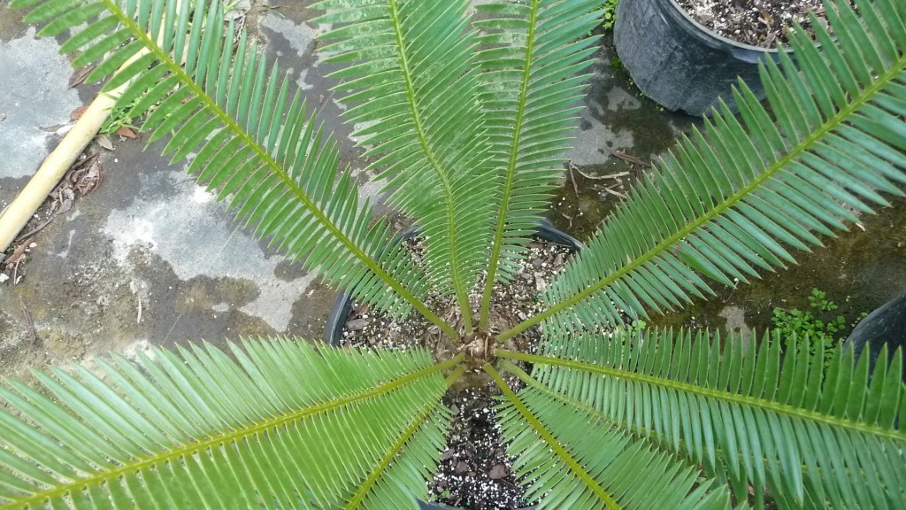 Dioon edule (2)