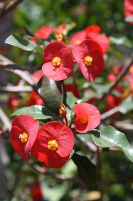 Euphorbia 'geroldii'