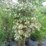 Hibiscus tiliaceus 'Tri-Color'