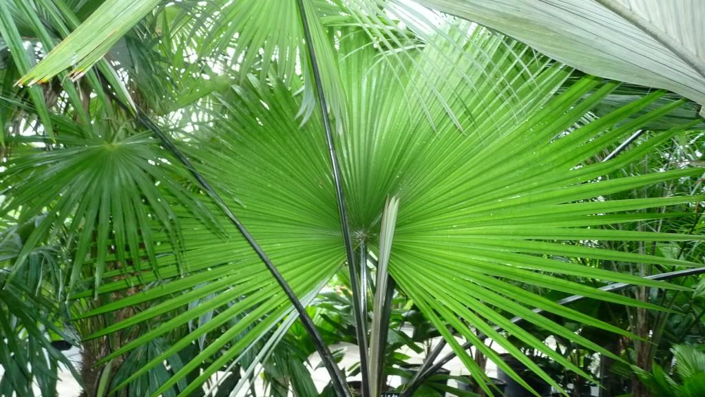 Kerriodoxa elegans 'White Elephant Palm'  (1)