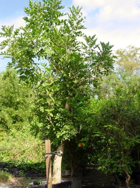 Kigelia pinnata  'Sausage Tree'  (1)