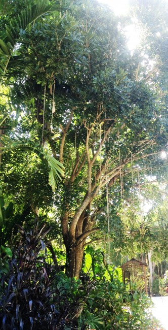 Kigelia pinnata  'Sausage Tree'  (3)