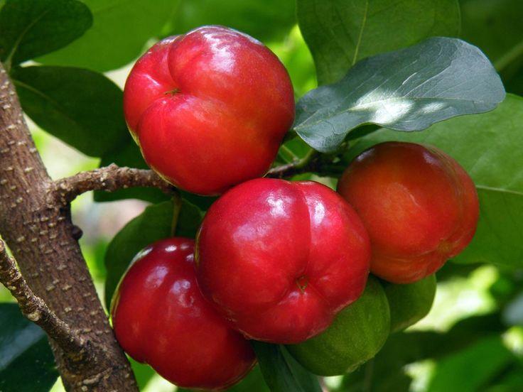 Malpighia punicifolia 'Barbados cherry'