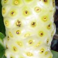 Morinda citrifolia 'Noni Fruit'