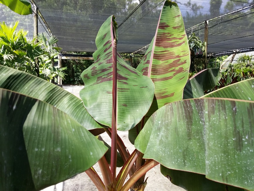 Musa 'Zebrina Rojo' - Blood Leaf Banana  (4)