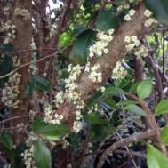 Myrciaria cauliflora 'Jaboticaba Tree'