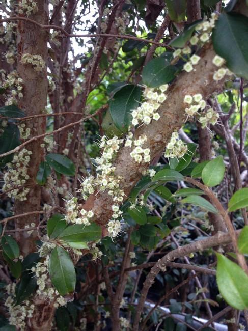 Myrciaria cauliflora 'Jaboticaba' (2)