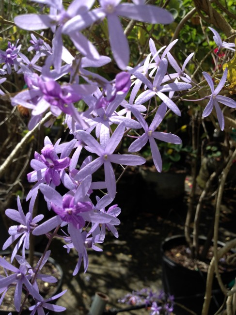 Petrea volubulis 'Purple Wreath Vine' (1)