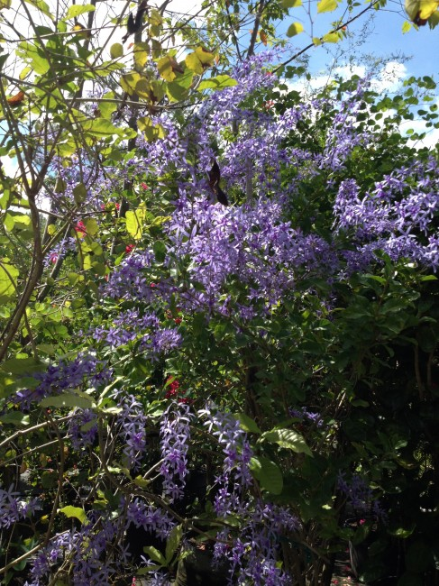 Petrea volubulis 'Purple Wreath Vine' (2)