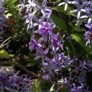 Petrea volubulis 'Purple Wreath Vine'
