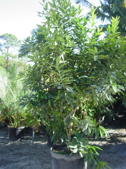 Pimenta dioica 'Allspice' (1)