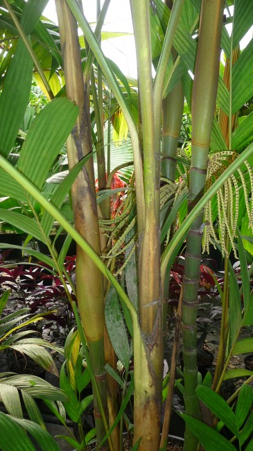 Pinanga kuhlii (2)