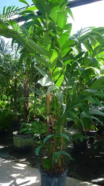 Pinanga kuhlii (3)