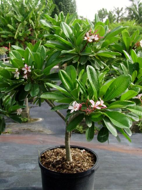 Plumeria obtusa 'Dwarf Singapore' pink (1)