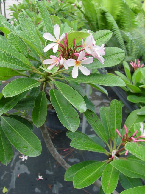 Plumeria obtusa 'Dwarf Singapore' pink (2)