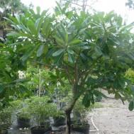 Plumeria obtusa 'Singapore White'