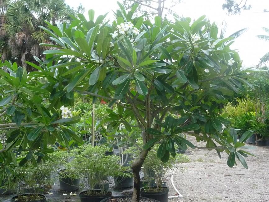 Plumeria obtusa 'Singapore' white