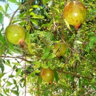 Punica granatum 'Pomegranate'