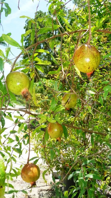 Punica granatum 'Pomegranate' (1)
