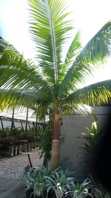 Satakentia liukiuensis  (1)