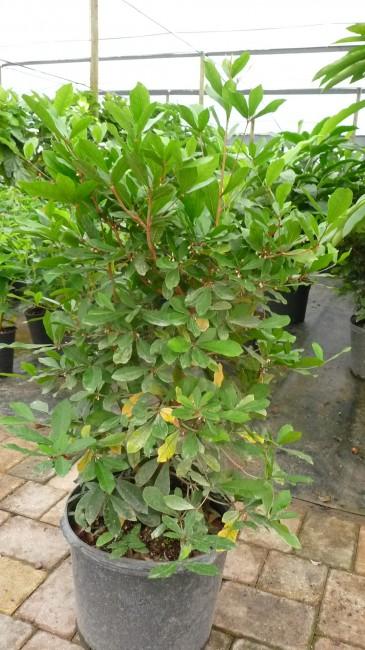 Synsepalum dulcificum 'Miracle Fruit' (1)