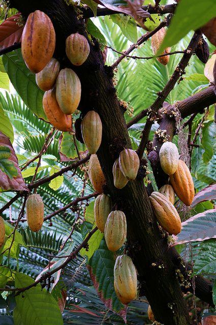 Theobroma cacao 'Chocolate Tree' (8)
