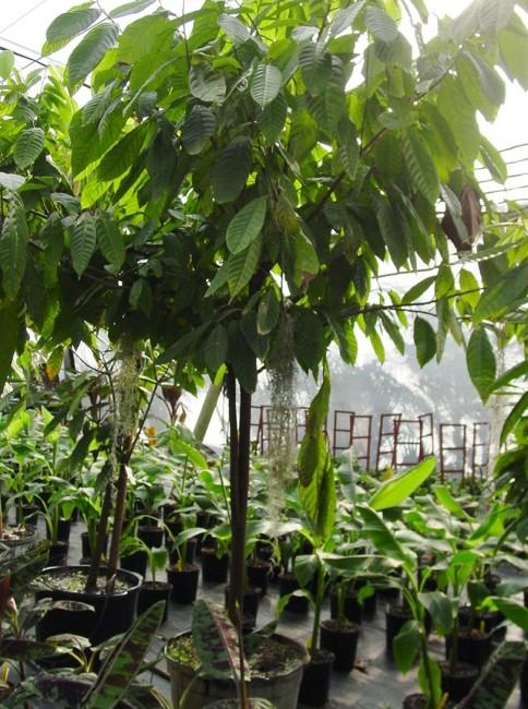 Theobroma cacao 'Chocolate Tree' (9)