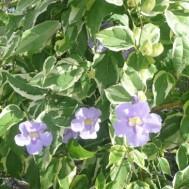 Thunbergia grandiflora 'Variegata'