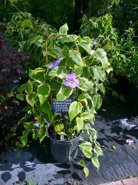 Thunbergia grandiflora 'Variegated Sky Vine'  (2)