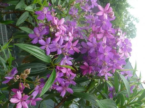 Tibouchina granulosa 'Purple Glory Tree' (14)
