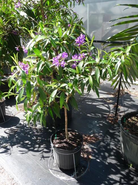 Tibouchina granulosa 'Purple Glory Tree' (15)