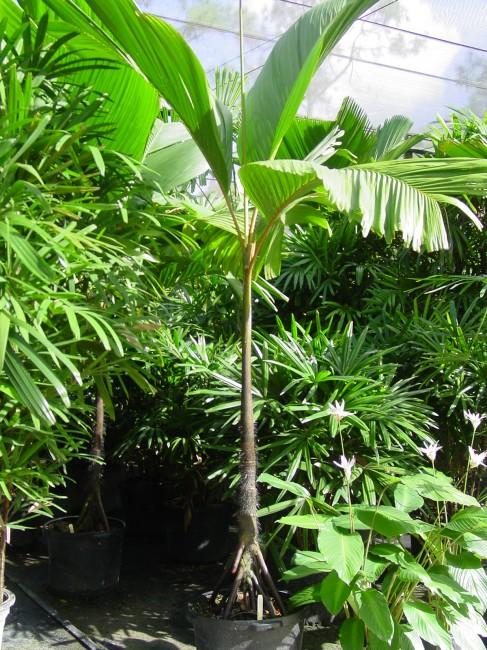 Verschaffeltia splendida - Stilt Root Palm (4)