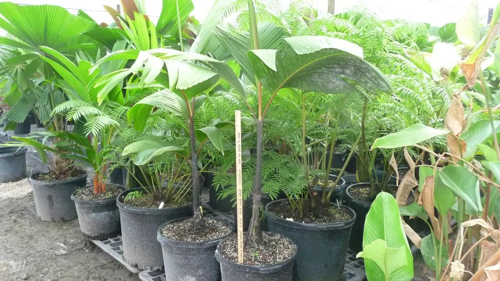 Verschaffeltia splendida - Stilt Root Palm (6)