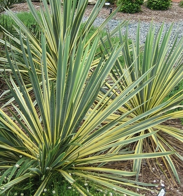 Yucca smalliana 'Bright Edge'