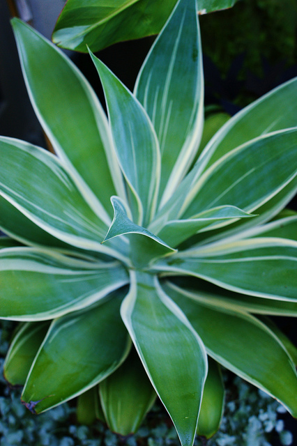 agave attenuata ray of light