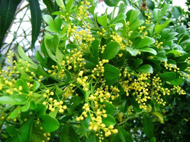 Aglaia odorata 'Chinese Perfume Bush'