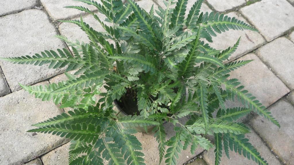 Arachnoides simplicior variegata 'East Indian Holly Fern'